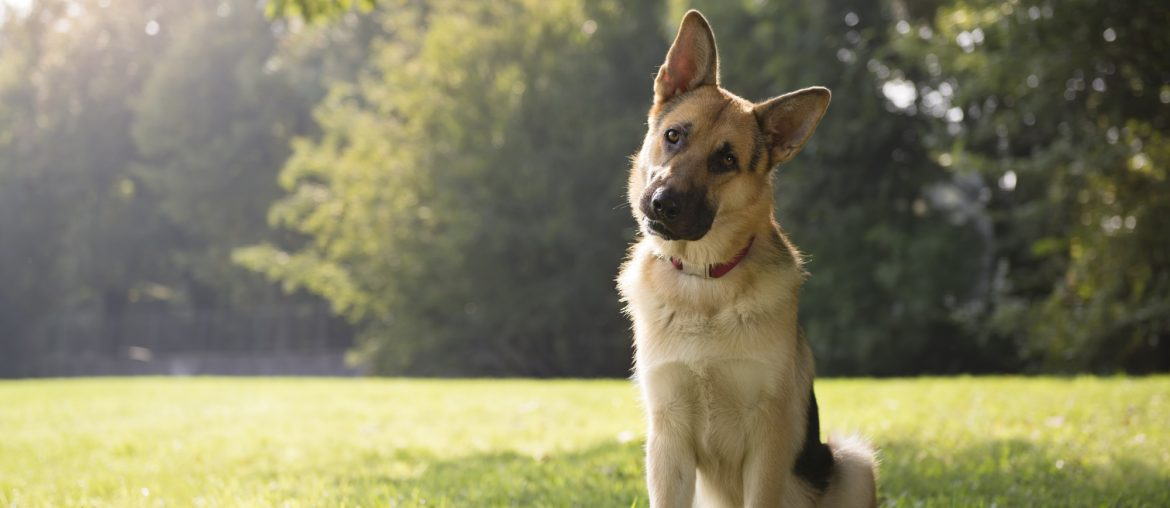 A dog sitting outside on a grass lawn, head tilted in curiosity to one side.